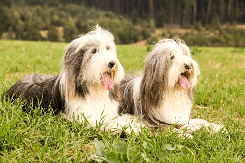 Two amazing bearded collies lying in the grass in later summer