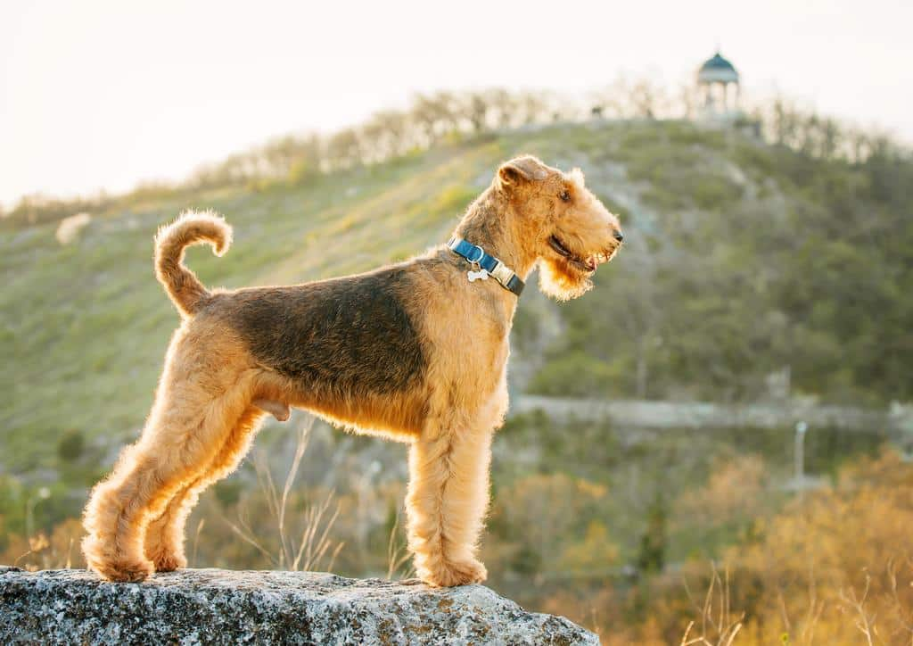 purebred airedale terrier outdoors fotolia