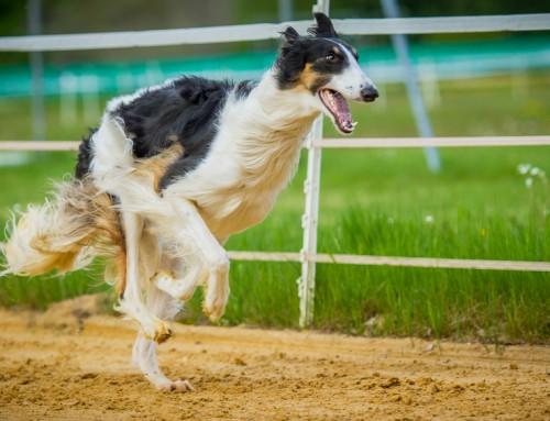 Barsoi russischer Jagdwindhund