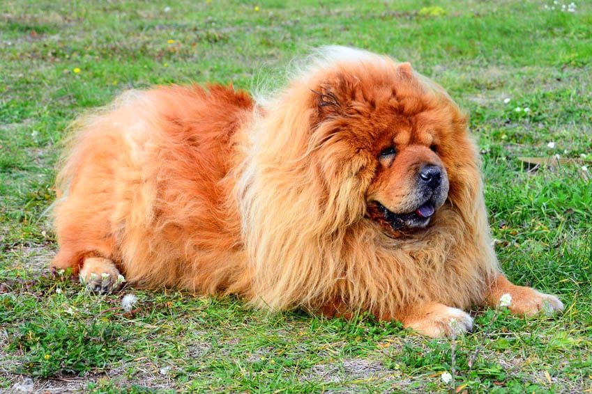 Brown friendly chow-chow dog in the green grass. Lithuania.