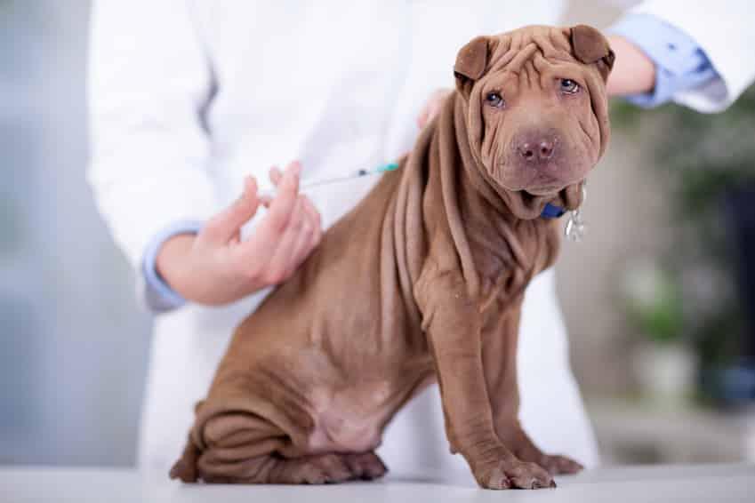 Impfungen für den Hund