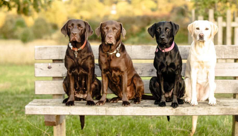 Labrador Retriever braun hell schwarz