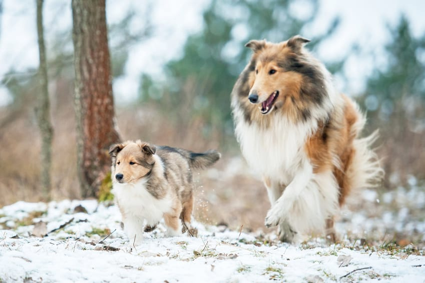 Rough collie mother playing with puppy in winter