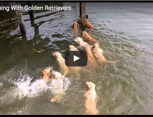 Lustige Hundevideos – Mit Golden Retriever schwimmen