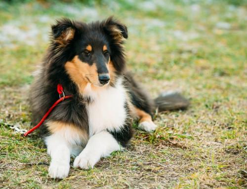 Shelti (Shetland Sheepdog)
