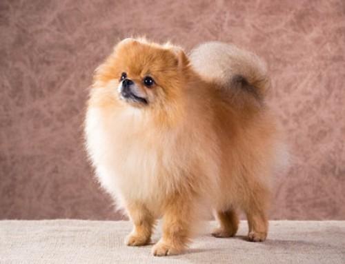 Zwergspitz – Pomeranian